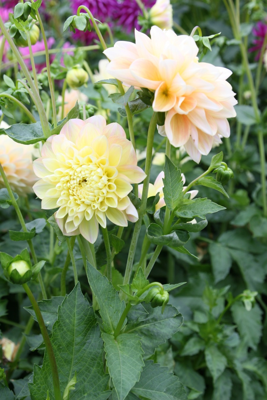 Dahlias_dahlia_honey_dew-3.full