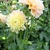 Dahlias_dahlia_honey_dew-3.small