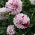 Dahlias_dahlia_hulin-1.small