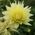Dahlias_dahlia_inland_dynasty-1.small