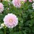 Dahlias_dahlia_innocence-1.small