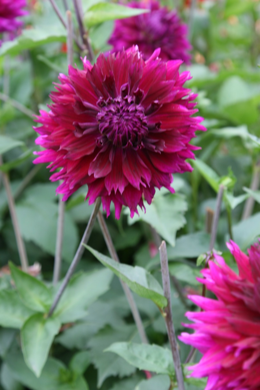 Dahlias_dahlia_jennifer-2.full