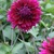 Dahlias_dahlia_jennifer-2.small