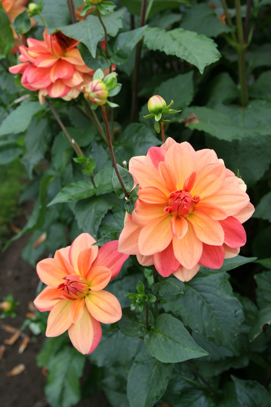 Dahlias_dahlia_koppertone-2.full