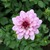 Dahlias_dahlia_lauren_michele-1.small