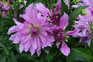 Dahlia 'Lavender Ruffles'