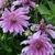 Dahlias_dahlia_lavender_ruffles-2.small