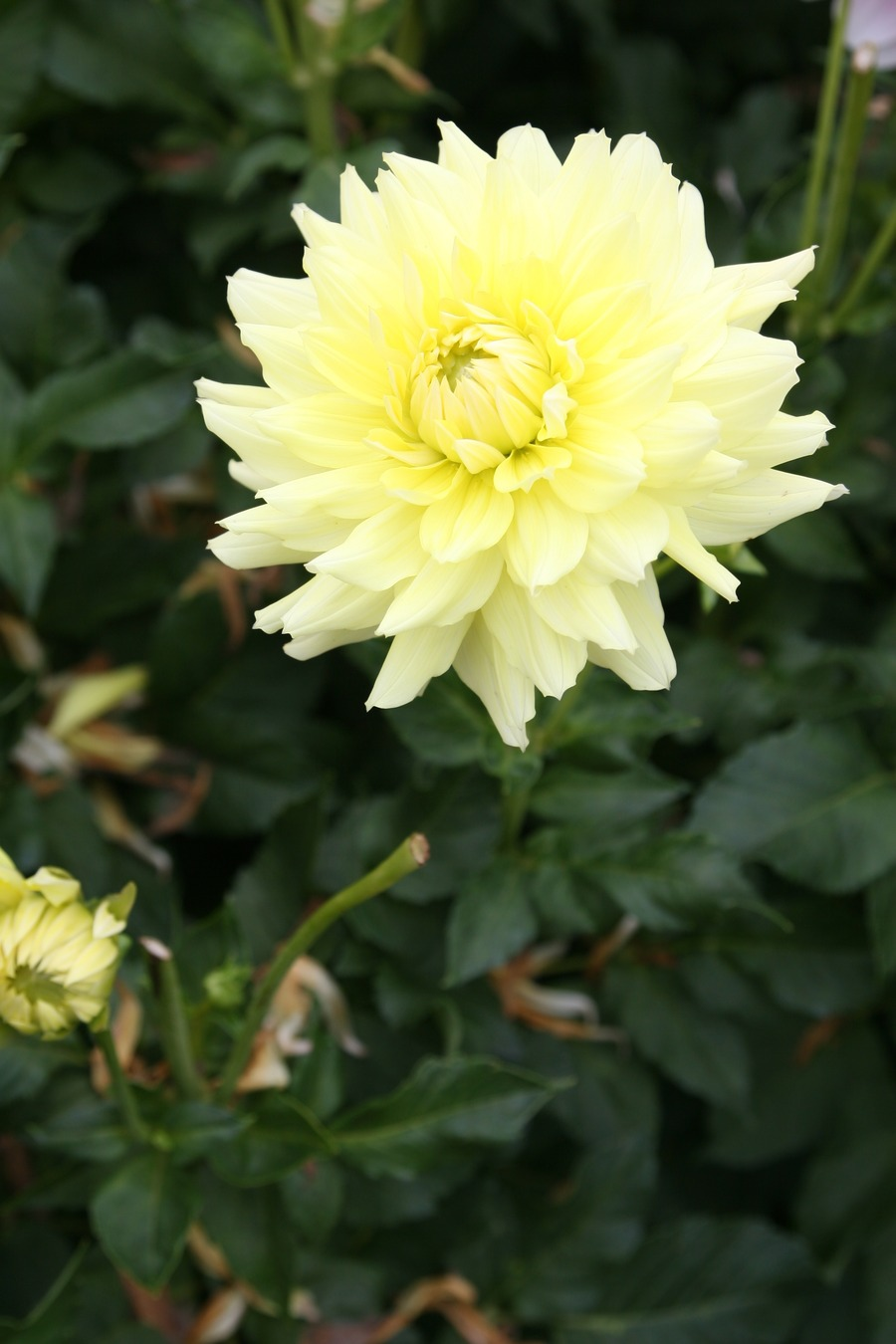 Dahlias_dahlia_lemon_kiss-1.full