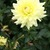 Dahlias_dahlia_lemon_kiss-1.small