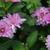 Dahlias_dahlia_little_blessings-1.small