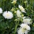 Dahlias_dahlia_little_lamb-1.small