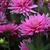Dahlias_dahlia_little_missy-1.small