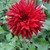 Dahlias_dahlia_loverboy-1.small