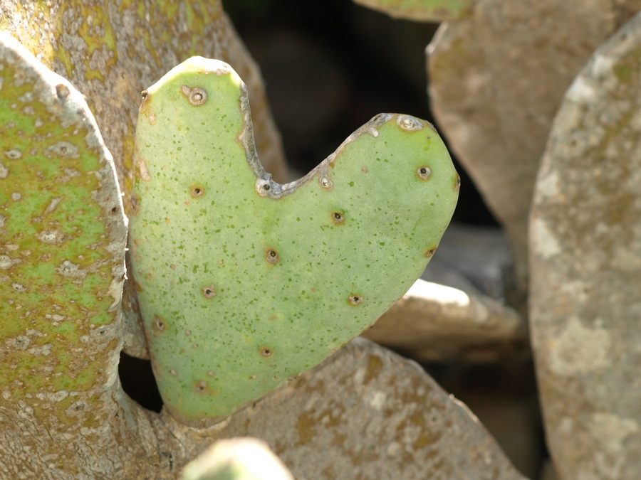 Heart_shapped_prickly_pear.full