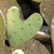 Heart_shapped_prickly_pear.small