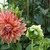 Dahlias_dahlia_maki-2.small