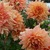 Dahlias_dahlia_margaret_duross-1.small