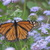 Monarch2.small