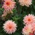 Dahlias_dahlia_mary_joe-1.small