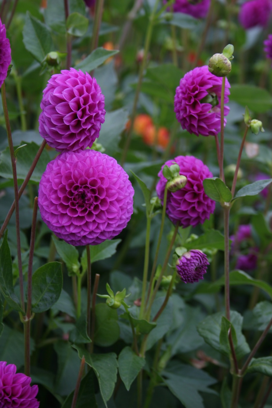 Dahlias_dahlia_mary_munns-1.full