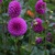 Dahlias_dahlia_mary_munns-1.small