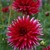 Dahlias_dahlia_matilda_huston-1.small