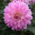 Dahlias_dahlia_miss_delilah-2.small