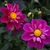 Dahlias_dahlia_ms_bee_haven-1.small