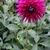 Dahlias_dahlia_nadine_jessie-2.small
