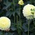 Dahlias_dahlia_nettie-1.small