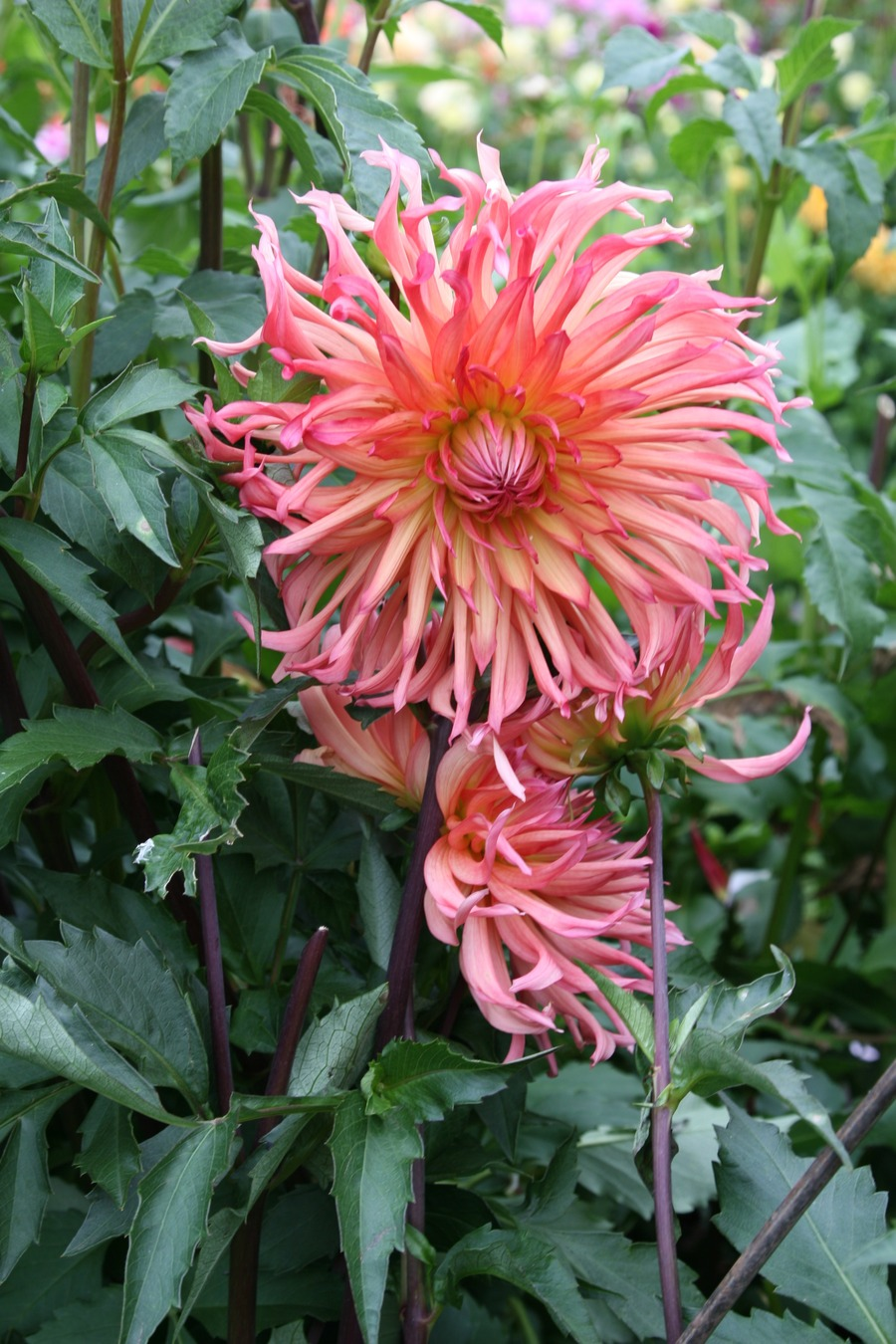 Dahlias_dahlia_nutley_sunrise-1.full
