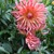 Dahlias_dahlia_nutley_sunrise-1.small