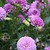 Dahlias_dahlia_outta_da_blue-1.small