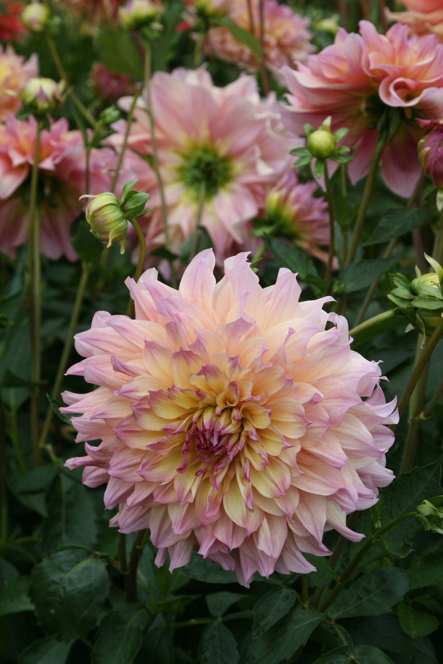 Dahlias_dahlia_papageno-4.full