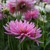 Dahlias_dahlia_park_princess-1.small