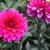 Dahlias_dahlia_passionate-1.small