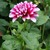 Dahlias_dahlia_patches-1.small