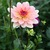 Dahlias_dahlia_patty_cake-1.small