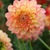 Dahlias_dahlia_peaches-1.small