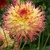 Dahlias_dahlia_pinelands_pam-2.small
