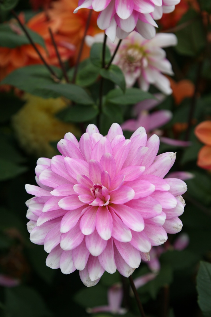 Dahlias_dahlia_pink_gingham-2.full
