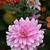 Dahlias_dahlia_pink_gingham-2.small