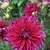Dahlias_dahlia_plum_pretty-1.small