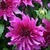 Dahlias_dahlia_purple_taiheijo-1.small