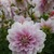 Dahlias_dahlia_randi_dawn-1.small
