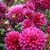 Dahlias_dahlia_rasberry_punch-1.small
