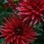 Dahlias_dahlia_red_pigmy-1.small