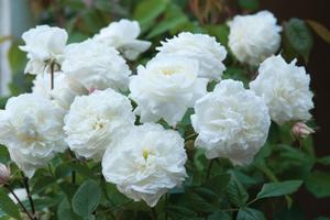 Roses-susan-williams.full