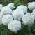 Roses-susan-williams.small