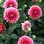 Dahlias_dahlia_ringo-2.small